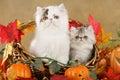 Persian kitten in fall decoration Royalty Free Stock Photo