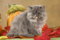 Persian kitten in fall decoration Royalty Free Stock Photo