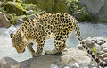Persian Leopard 6 Royalty Free Stock Image