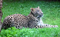 Persian leopard or Caucasian leopard Royalty Free Stock Photo