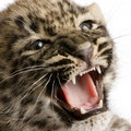 Persian leopard Cub (2 months) Royalty Free Stock Photography