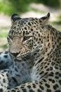 Persian leopard (Panthera pardus saxicolor). Royalty Free Stock Photo