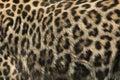 Persian leopard (Panthera pardus saxicolor). Fur texture. Royalty Free Stock Photo