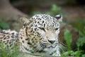 Persian leopard (Panthera pardus saxicolor) Royalty Free Stock Photo