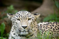 Persian leopard (Panthera pardus saxicolor) Royalty Free Stock Photo