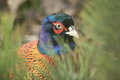 Persian pheasant Royalty Free Stock Photos