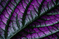 Persian Shield (Strobilanthes dyerianus) Leaf Royalty Free Stock Photos