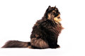 Persian tortie cat on the white background Stock Photo