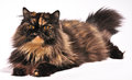 Persian tortie cat on the white background Royalty Free Stock Photography