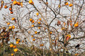 Persimmon fruits on a tree in nature Stock Photos