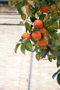 Persimmon tree with mature orange fruits Royalty Free Stock Photos