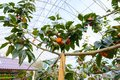 Persimmons on persimmon tree are organic fruit at the cool weather plantation on the hills Royalty Free Stock Photo