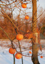 Persimmons in Snow Stock Photos