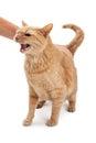Person petting angry cat Imagen de archivo libre de regalías