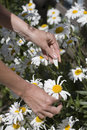 Person picking daisy flowers Royalty Free Stock Photo