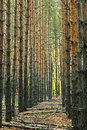 Perspective alley vertical trunks of pine trees in forest Royalty Free Stock Photo