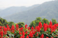 Perspective defocus landscape of red flowers with green tree and mountain in background, red flowers, mountain Royalty Free Stock Photo