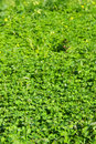 Perspective over a shamrock field Stock Photography