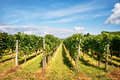 Perspective of vine stocks in a vineyard Stock Photography