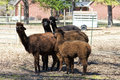 Peruvian alpaca family vicugna pacos these are alpacas that are on a farm in north alabama usa these beautiful animals are raised Royalty Free Stock Photos