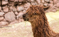 Peruvian alpaca farm of llama alpaca vicuna in peru south america andean animal is american camelid Stock Images