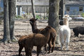 Peruvian alpacas vicugna pacos these are that are on a farm in north alabama usa these beautiful animals are raised for their fur Royalty Free Stock Photography