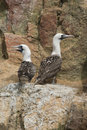 Peruvian Boobys Royalty Free Stock Photography