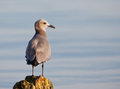 Peruvian Grey Gull on pole Royalty Free Stock Photos