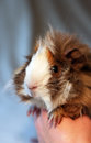 Peruvian guinea pig Stock Photos