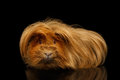 Peruvian Guinea pig on isolated black background Royalty Free Stock Photo