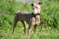 Peruvian Hairless Dog Royalty Free Stock Photo