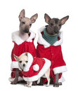 Peruvian Hairless Dogs and a puppy Chihuahua Royalty Free Stock Photo
