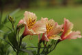 Peruvian lily with rain droplets, close up Royalty Free Stock Photo