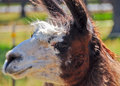 Peruvian llama close up of face of Stock Photos
