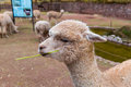 Peruvian llama farm of alpaca vicuna in peru south america andean animal is south american camelid Royalty Free Stock Photography
