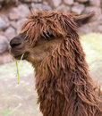 Peruvian llama farm of llama alpaca vicuna in peru south america andean animal is american camelid Stock Image