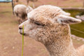 Peruvian llama farm of llama alpaca vicuna in peru south america andean animal is american camelid Stock Photos