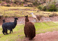 Peruvian llama farm of llama alpaca vicuna in peru south america andean animal is american camelid Royalty Free Stock Image