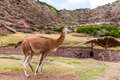 Peruvian llama farm of llama alpaca vicuna in peru south america andean animal is american camelid Stock Images