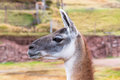 Peruvian llama farm of llama alpaca vicuna in peru south america andean animal is american camelid Stock Photography