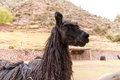 Peruvian llama farm of llama alpaca vicuna in peru south america andean animal is american camelid Royalty Free Stock Photos