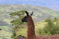 Peruvian llama with mountains a overlooking the mountainous terrain of central peru Royalty Free Stock Photography
