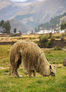 Peruvian llama in peru south america Stock Image