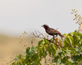 Peruvian Meadow Lark on bush Stock Photo
