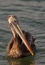 Peruvian Pelican close-up Royalty Free Stock Photo