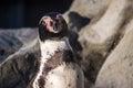 Peruvian penguin also teremd humboldt spheniscus humboldti Stock Image