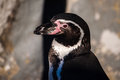 Peruvian penguin also teremd humboldt spheniscus humboldti Stock Photos