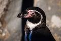 Peruvian penguin also teremd humboldt spheniscus humboldti Stock Photos