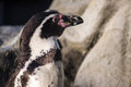 Peruvian penguin also teremd humboldt spheniscus humboldti Stock Photo