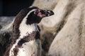 Peruvian penguin also teremd humboldt spheniscus humboldti Stock Photo